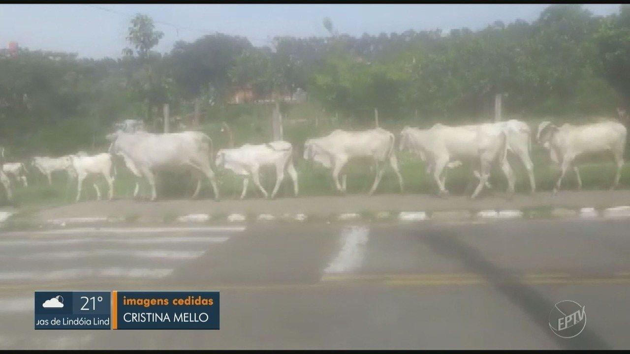 Bois ficam soltos nas ruas do Vila União em Campinas