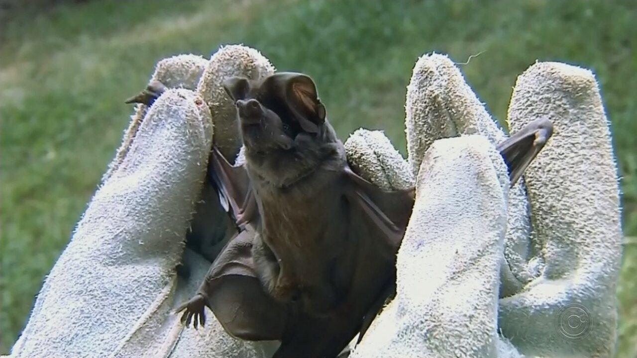 Vigilância ambiental de Botucatu confirma caso de raiva em morcego encontrado na cidade