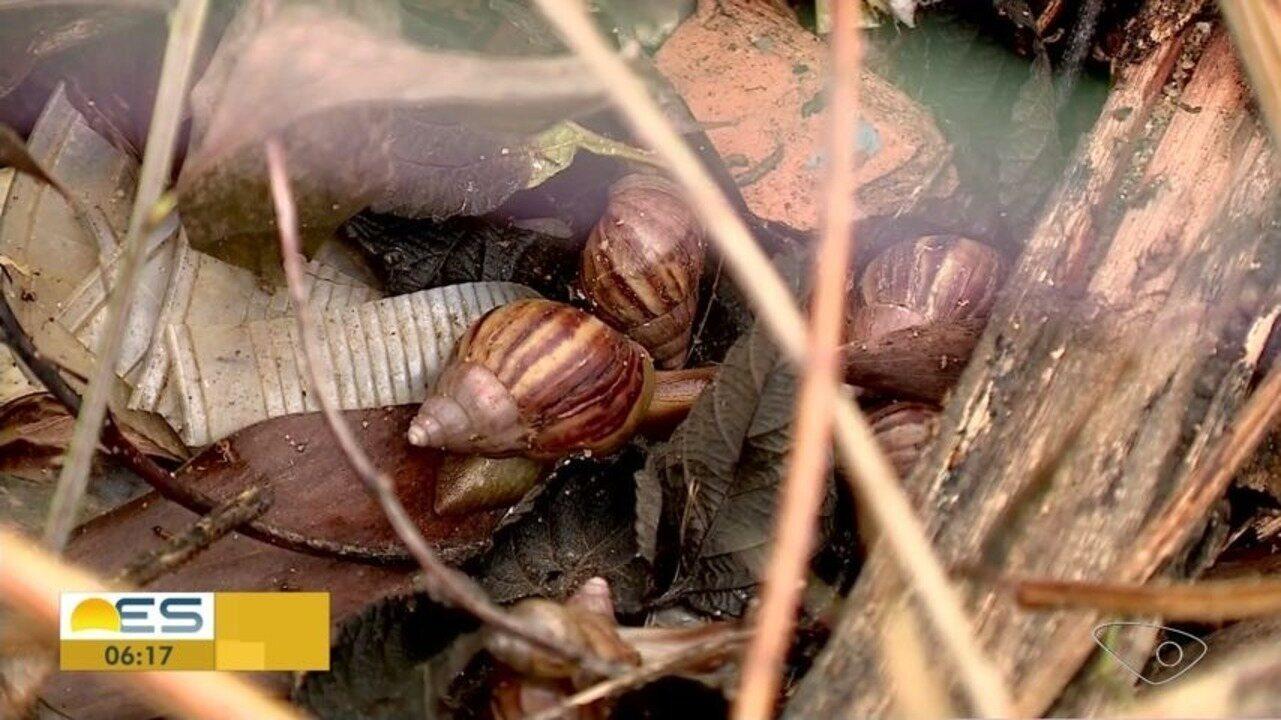 Moradores de Colatina, ES, estão preocupados com a infestação de caramujos