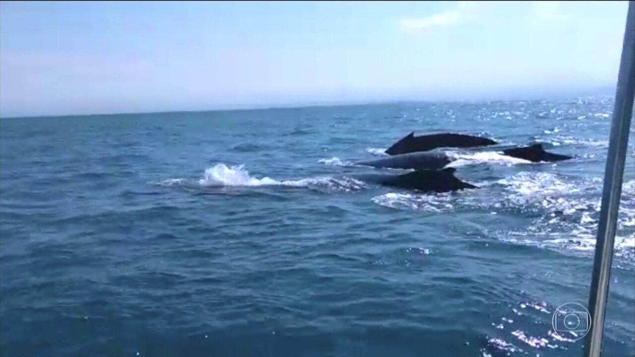 Pesquisadores do Espírito Santo confirmam o aumento da população de baleias Jubarte