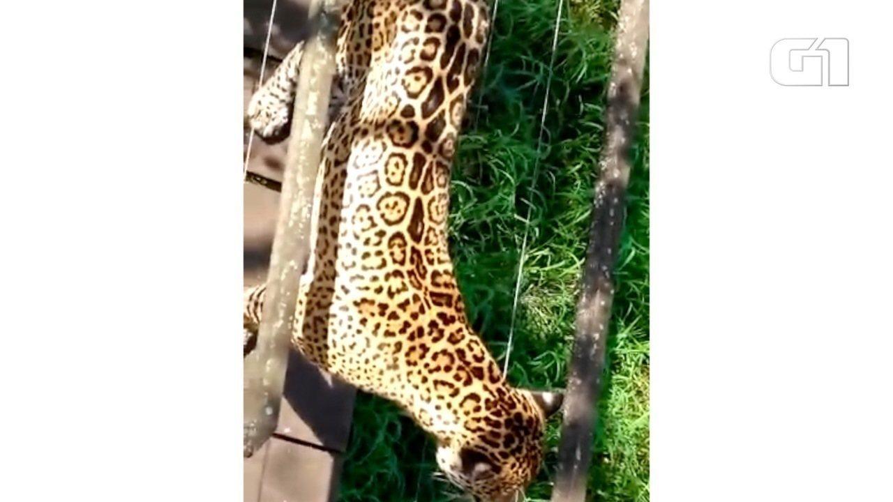 Onça aparece em trilha e faz guias turísticos subirem em árvore, no Pantanal de MS