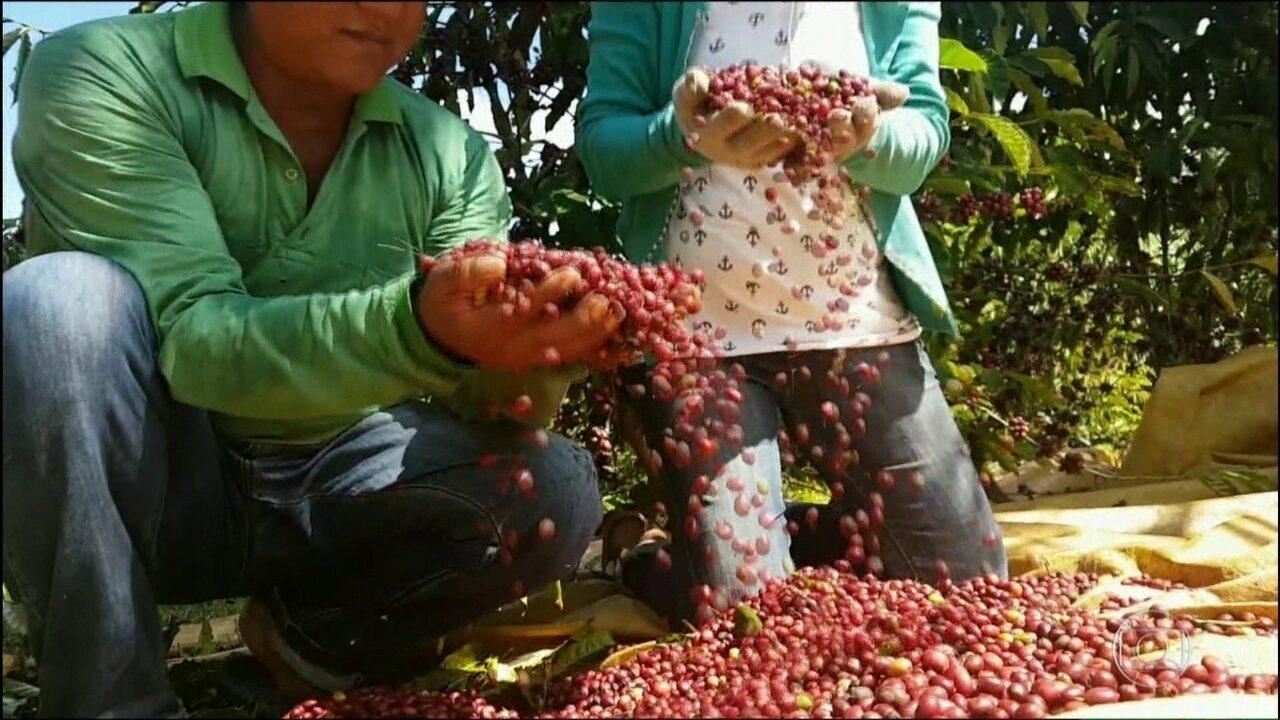 Índios de RO produzem café com qualidade de exportação de maneira sustentável