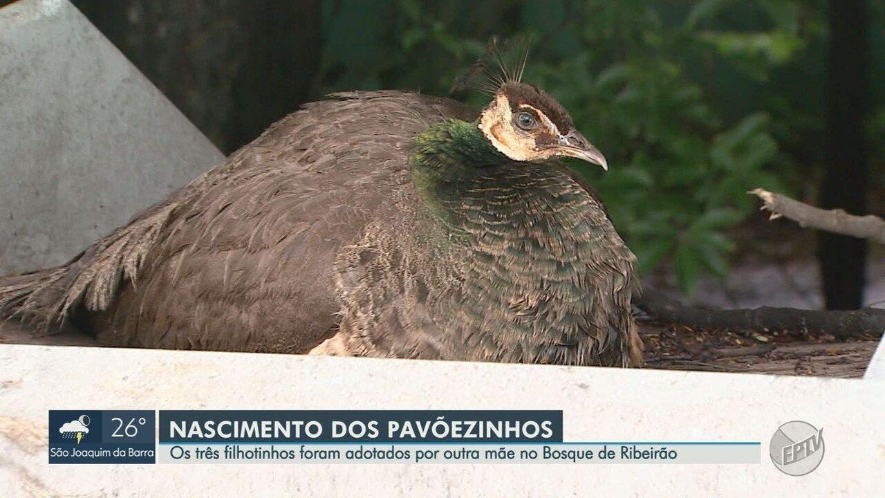 Nascem filhotes da pavoa que fez ninho no ponto de ônibus perto do bosque