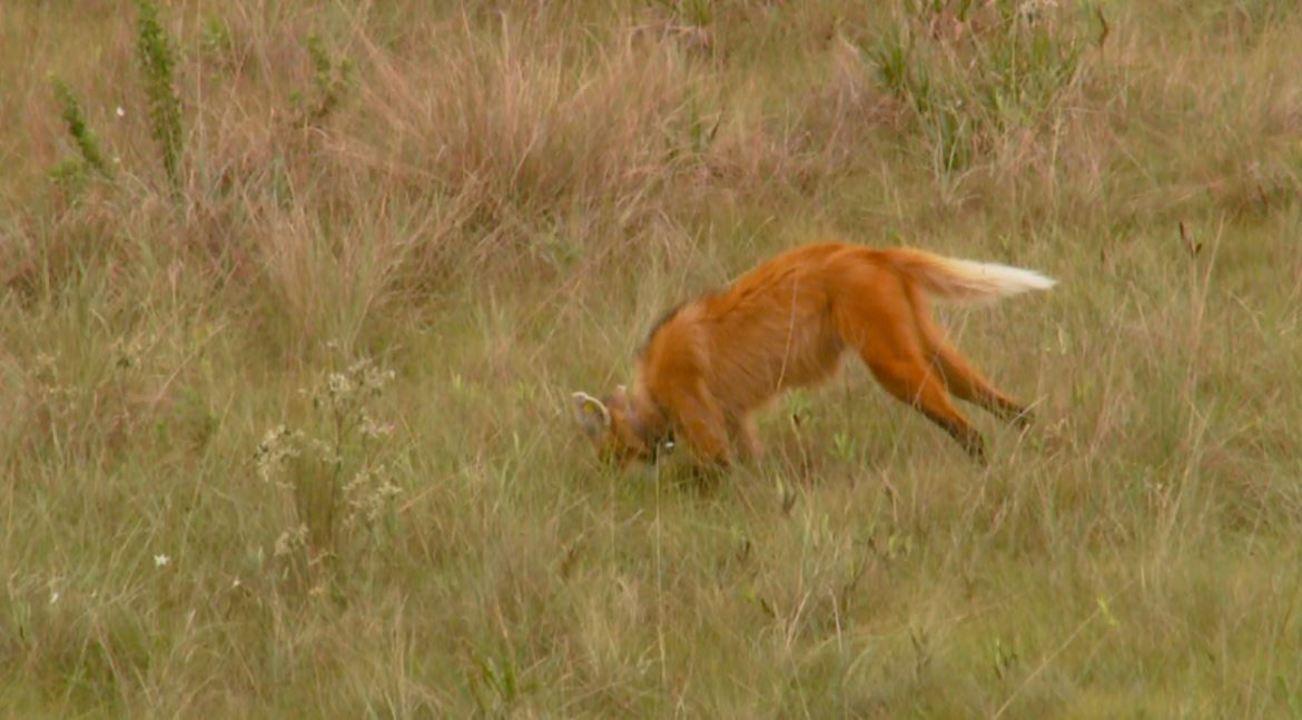 Lobo-guará na fazenda
