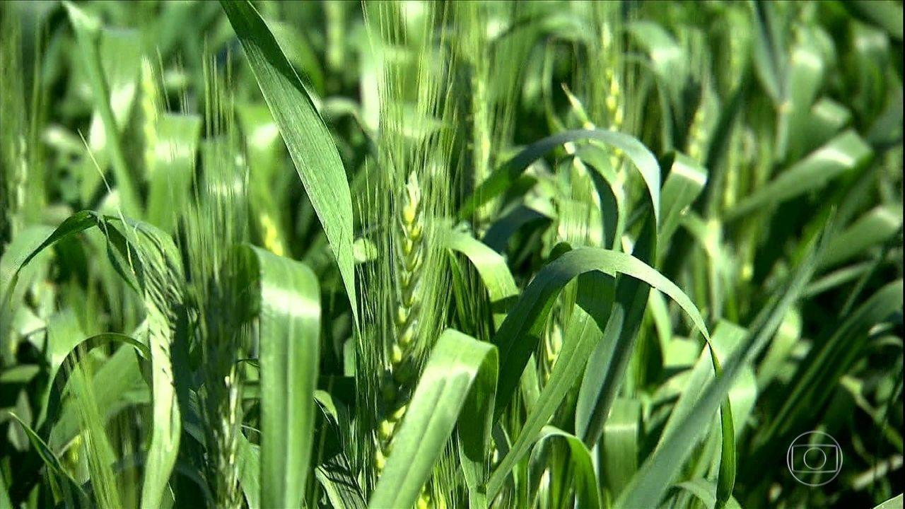 Trigo de alta qualidade é produzido no calor de Goiás e até na Bahia