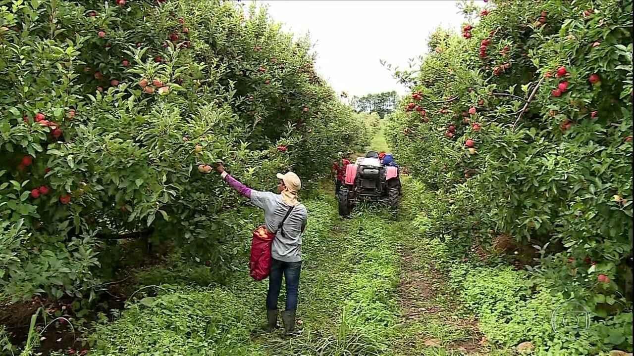 Começa a colheita da maçã em Santa Catarina