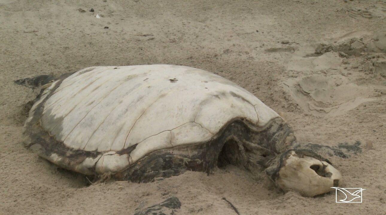Número de tartarugas mortas nos Lençóis Maranhenses triplica nos últimos três anos