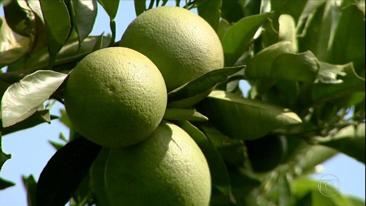 Safra de laranja diminui quase 30% em SP e MG