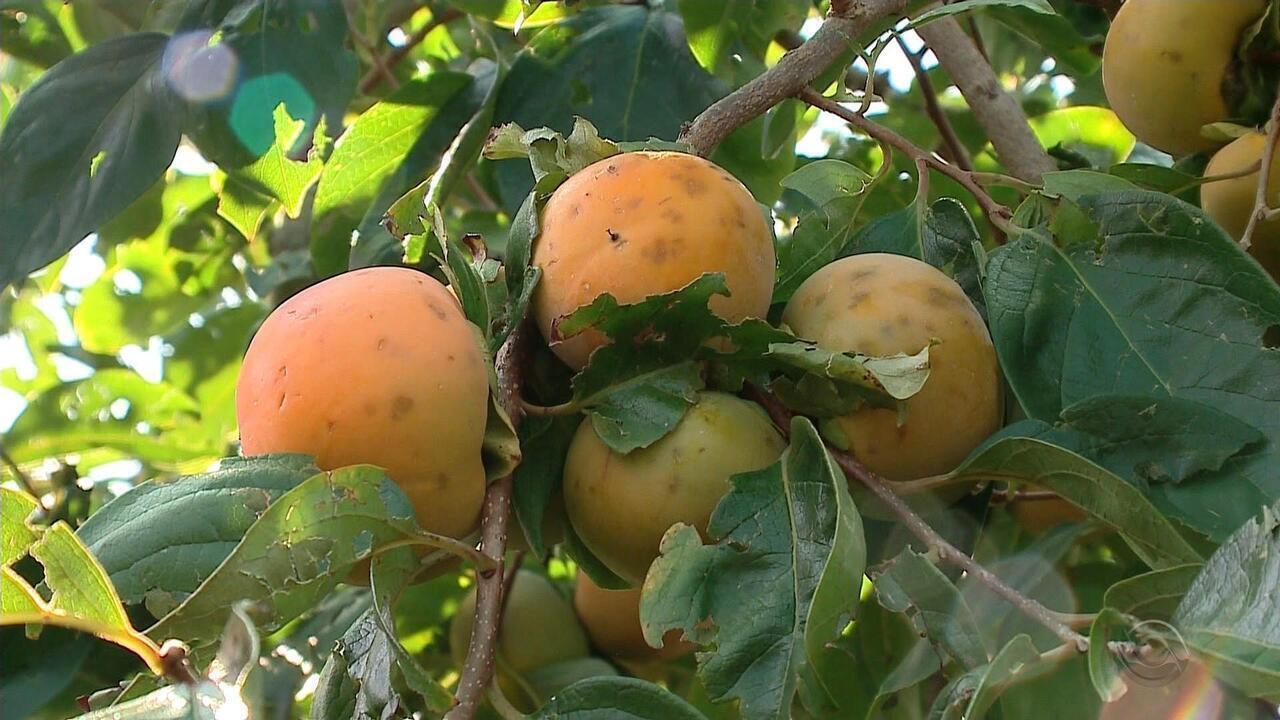 Granizo que atingiu a serra gaúcha gera prejuízo para agricultores