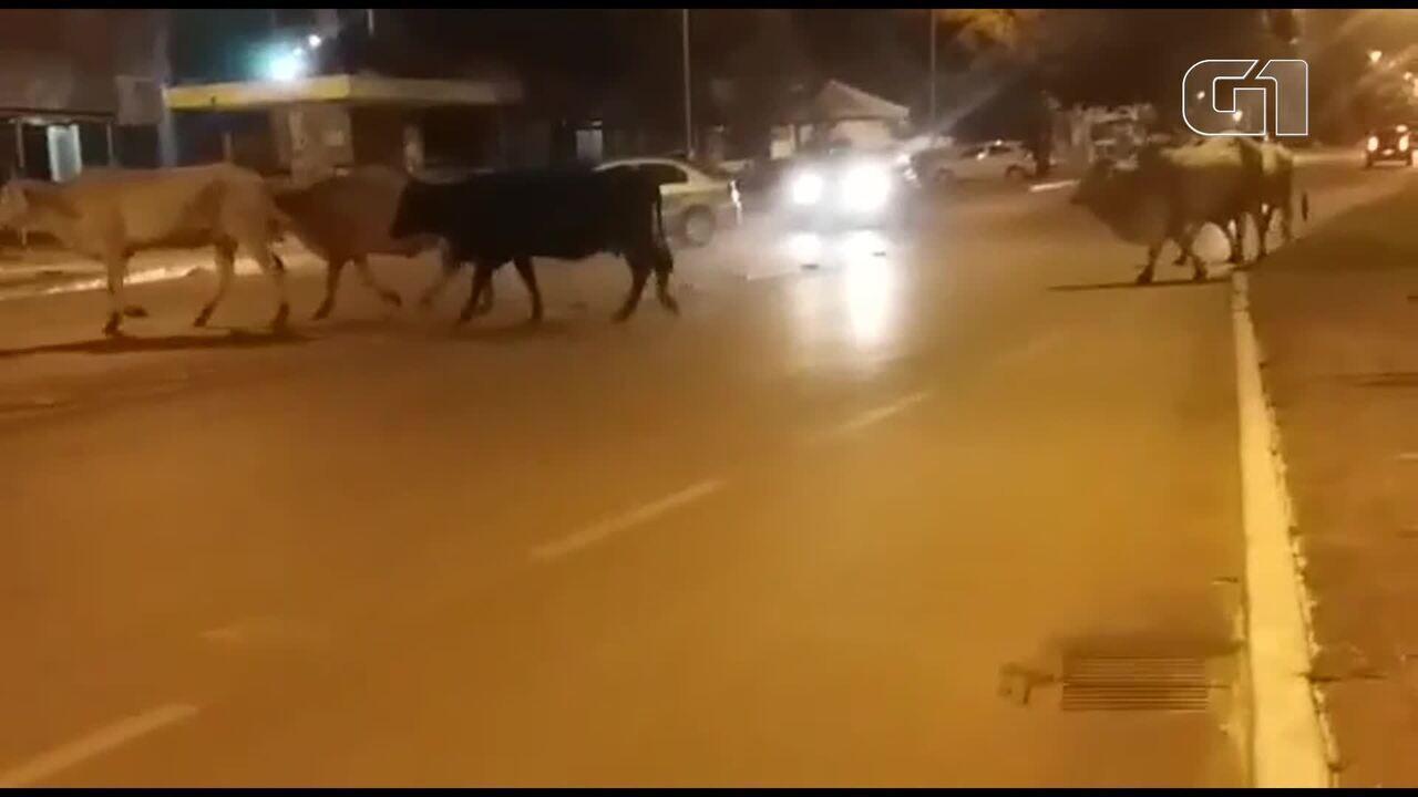 Bois circulam entre os carros em avenida comercial do DF