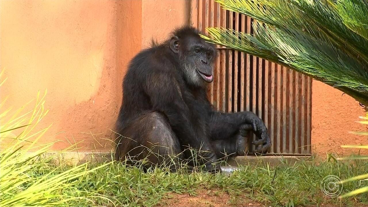 Transferência de chimpanzé para Santuário de Sorocaba deve começar nesta segunda-feira