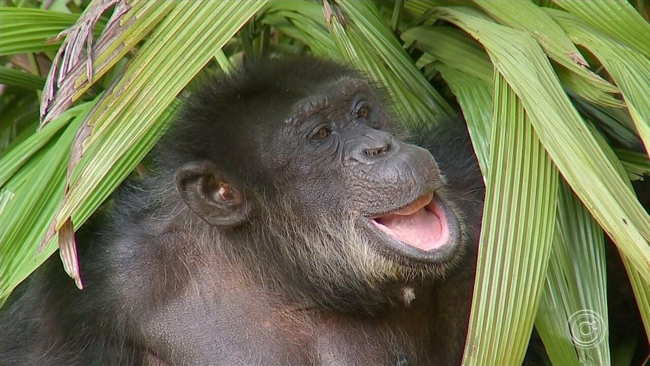 Chimpanzé Black é transferido para o Santuário dos Primatas em Sorocaba