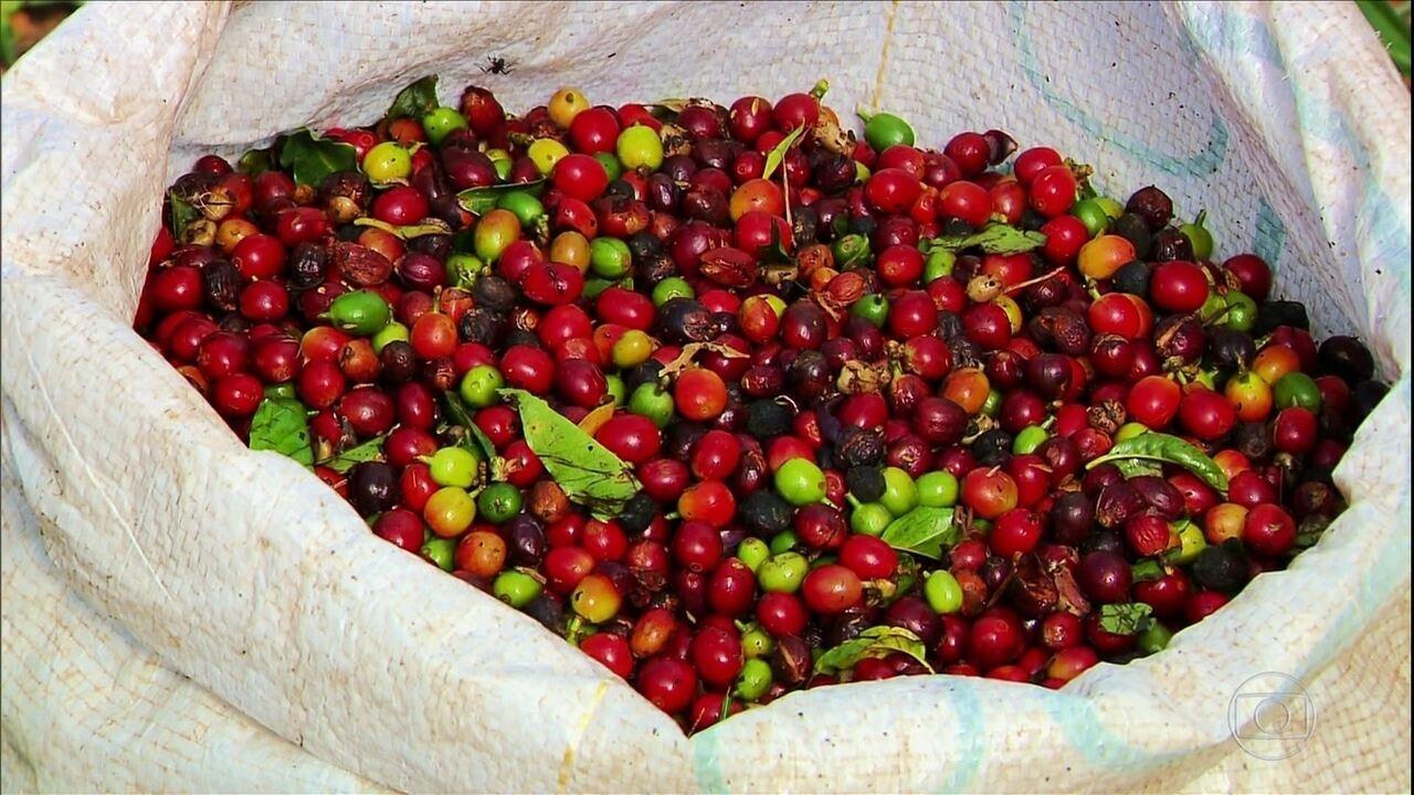 Café de menor qualidade preocupa produtores do Sul de MG