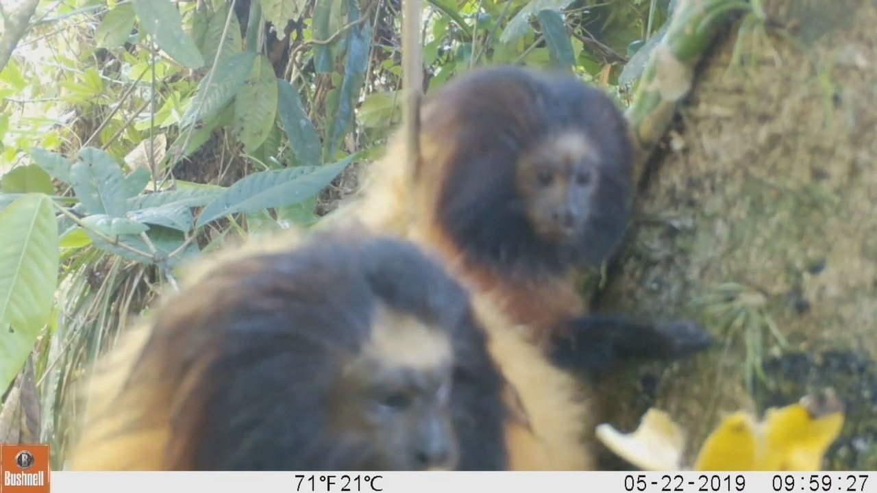 Raro registro mostra micos-da-cara-preta se alimentando em Parque Estadual, em Cananeia