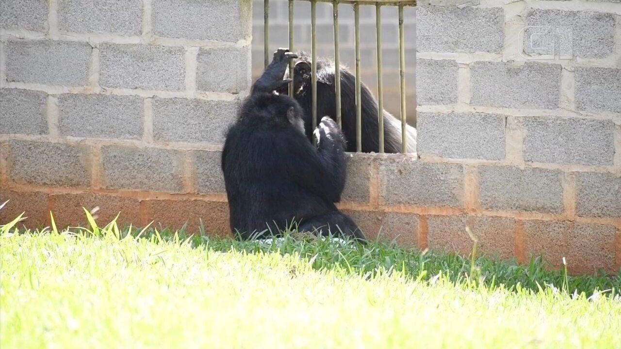 Na 'seca' há nove anos, ex-chimpanzé de circo tem contato com fêmeas em santuário