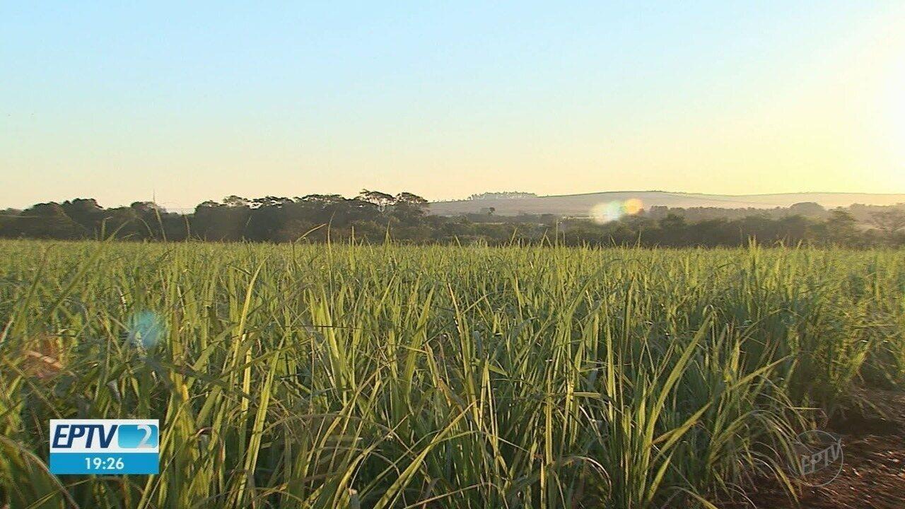 Geada afeta também produção da cana-de-açúcar na região de Ribeirão Preto, SP