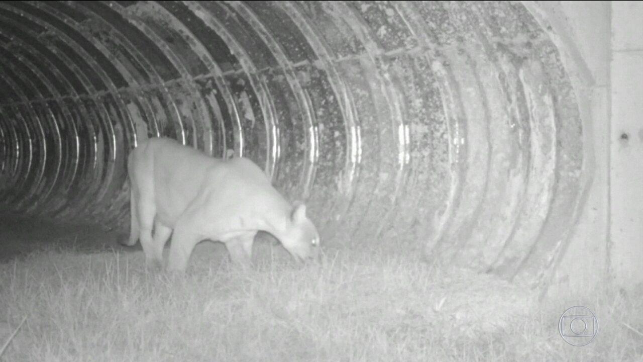 Túneis subterrâneos salvam vidas de animais selvagens e diminuem acidentes nas estradas