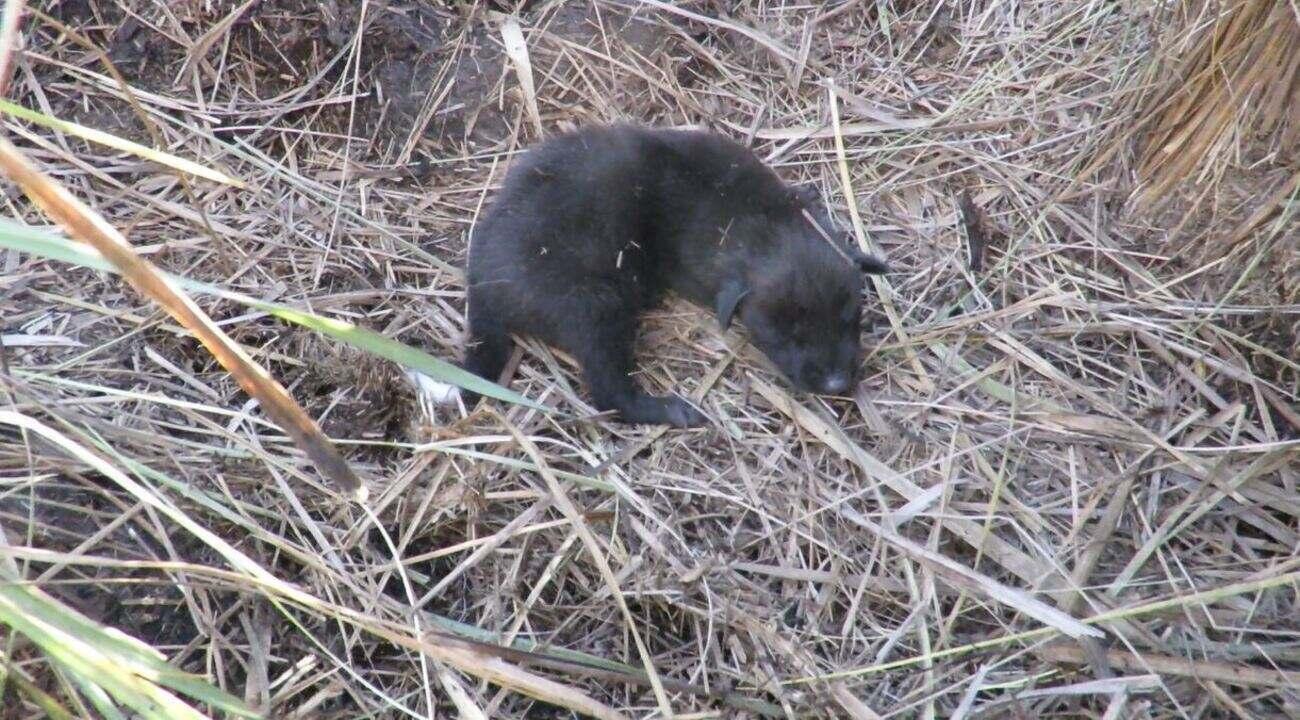 Lobos-guará recém-nascidos são flagrados por pesquisadores