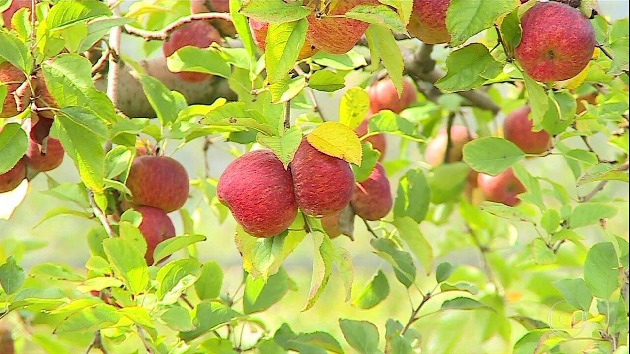 Chegada do frio atrasa e prejudica produção de maçãs em Santa Catarina