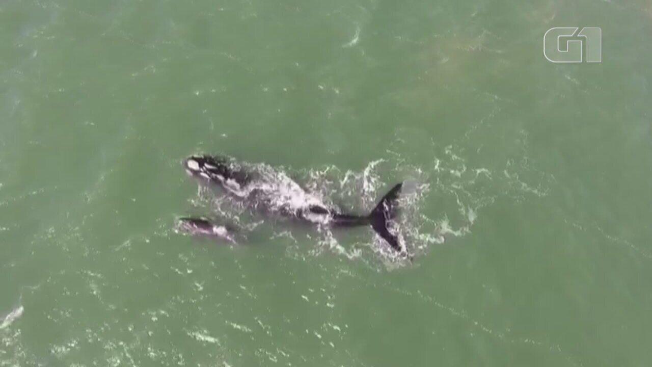 Vídeo mostra baleia franca com filhote na praia de Tramandaí