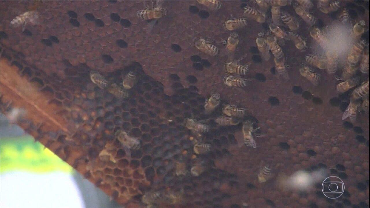 Morte das abelhas preocupa produtores de Pernambuco