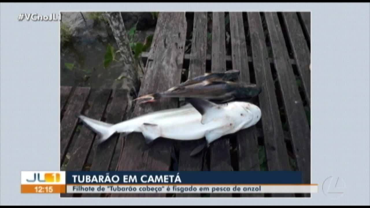 Filhote de tubarão é encontrado por pescadores em Cametá, no Pará