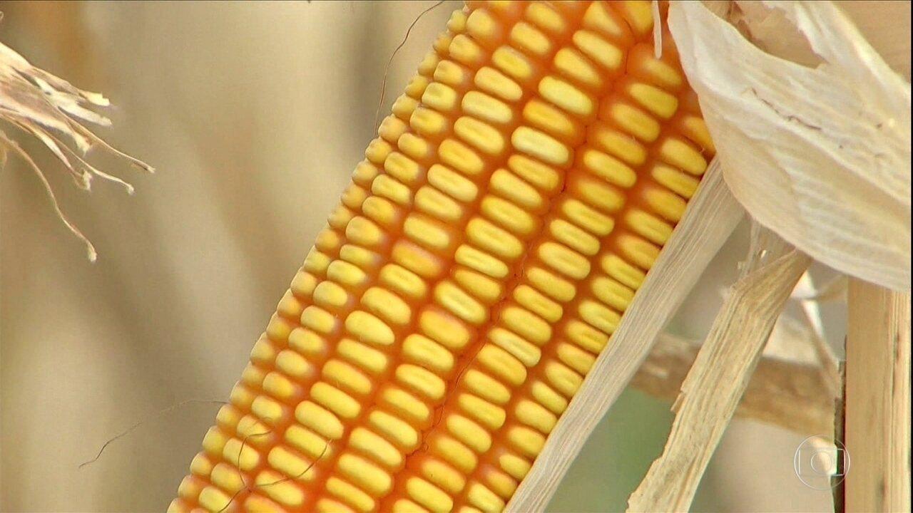 Colheita do milho entra na reta final em MS e os preços animam os produtores