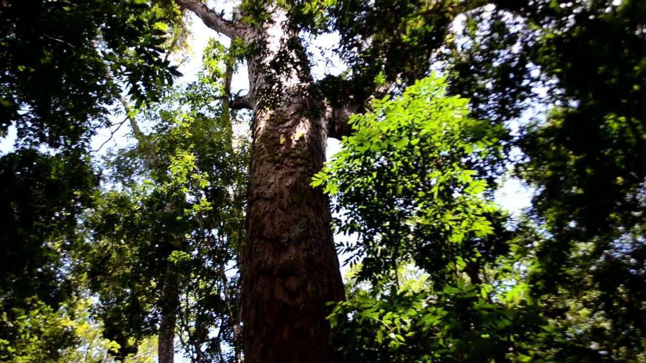 Olhar Em Pauta, da Globonews: árvore mais alta da Amazônia é encontrada em área preservada