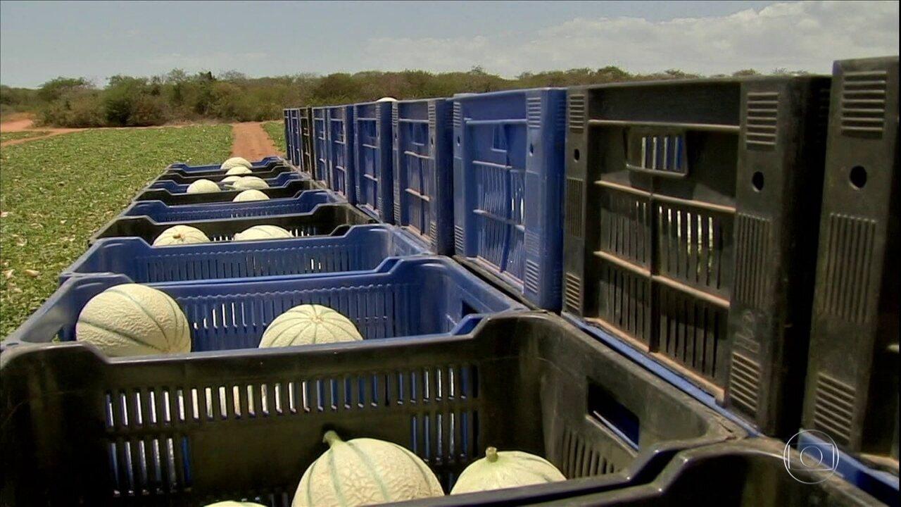 Produtores de melão no Ceará começam colheita de olho nas exportações
