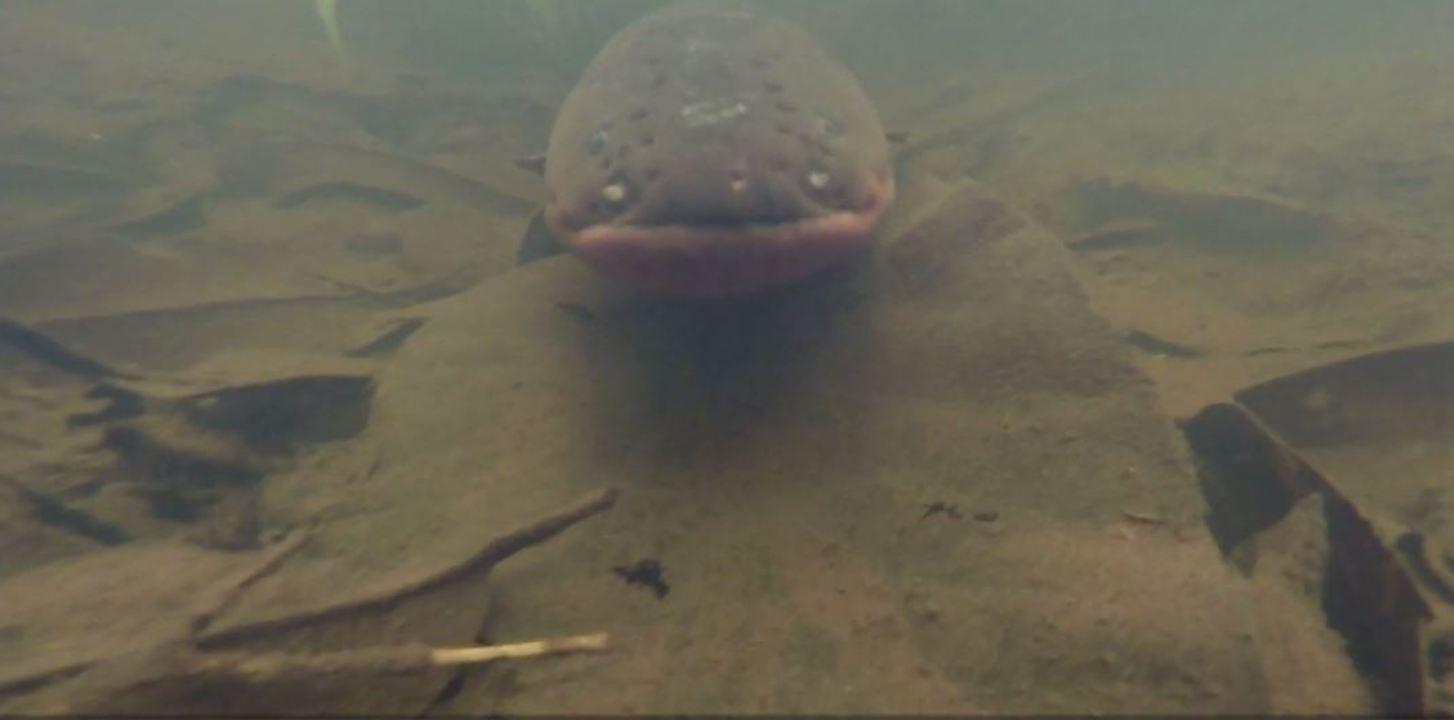 Projeto prevê a descoberta de novos peixes-elétricos na América do Sul