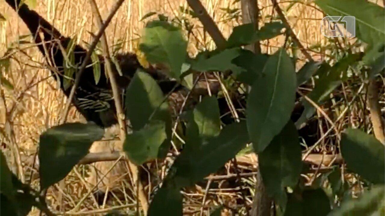 Tamanduá é flagrado com filhote fugindo de queimadas no Pantanal de MS.