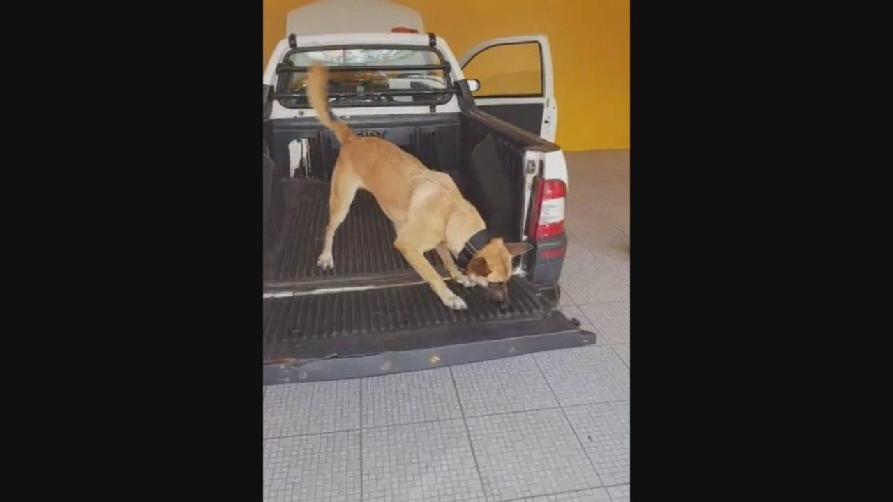 Vídeo mostra cão identificado droga escondida em picape em SC