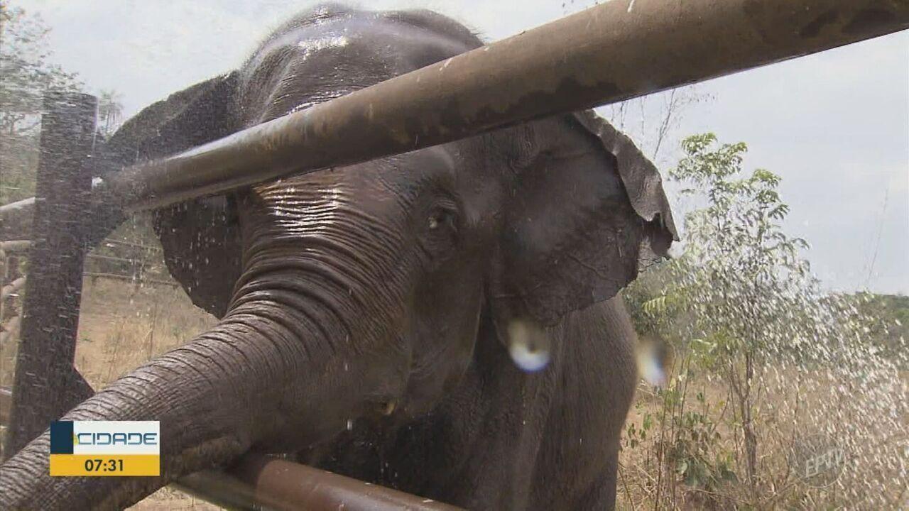 Aeroporto de Viracopos em Campinas recebe elefanta que sofria maus-tratos no Chile