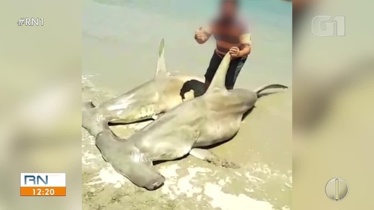 Vídeo mostra pessoas posando com tubarões-martelo mortos em praia do RN