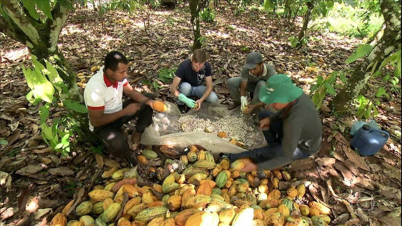 Liderança na produção de cacau 'volta para casa' no Pará com a união de agricultores