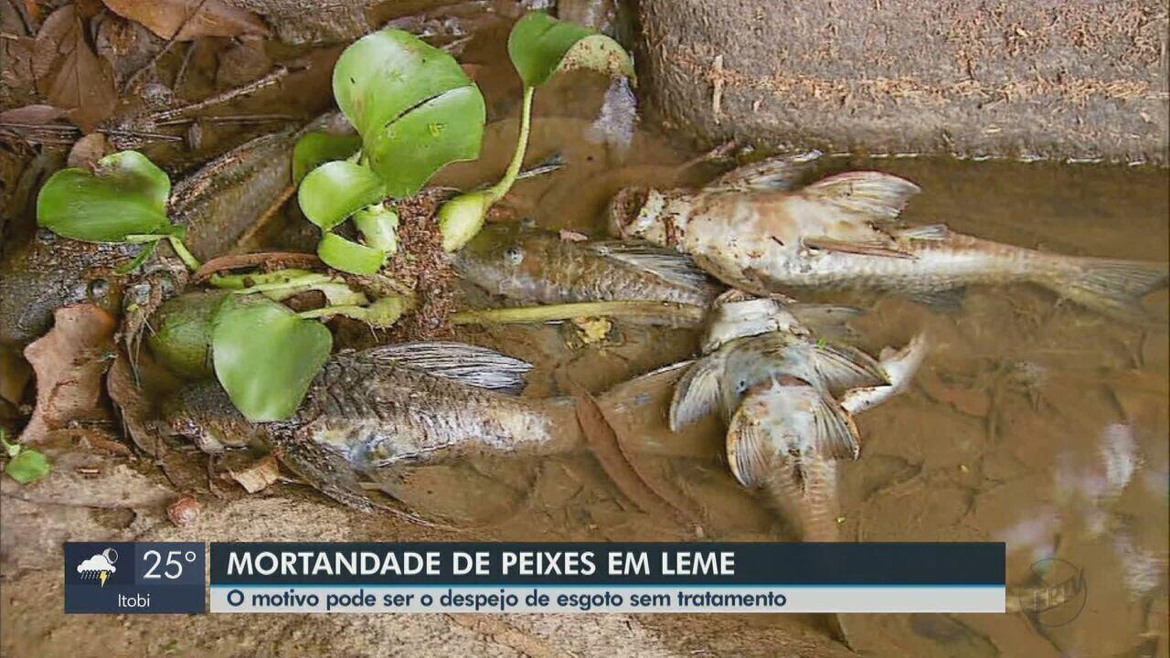Peixes aparecem mortos no Mogi Guaçu, em Leme, e suspeita é de esgoto de Araras