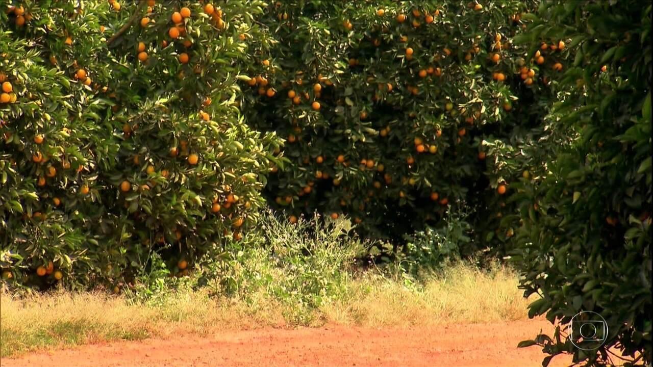 Produtores de laranja superam principal doença da atividade e alcançam maior produtividade