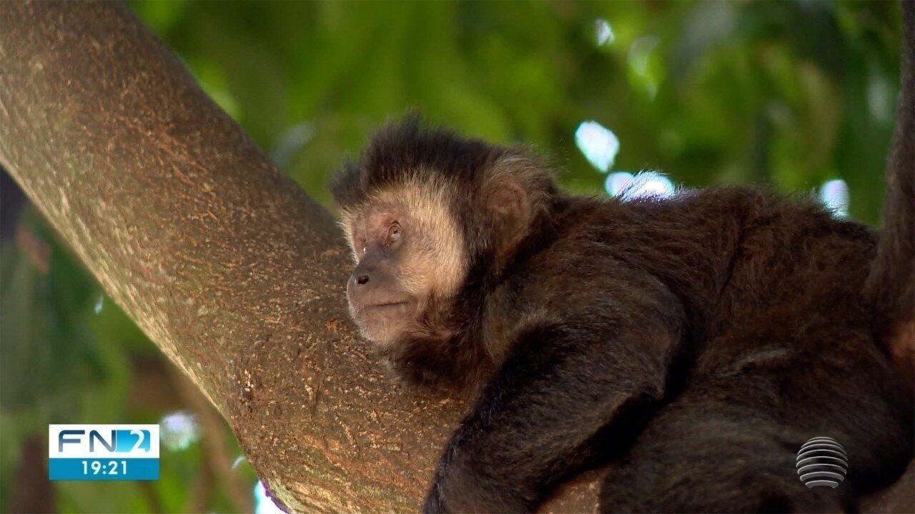 Mortes de macacos-prego chamam a atenção das autoridades de saúde