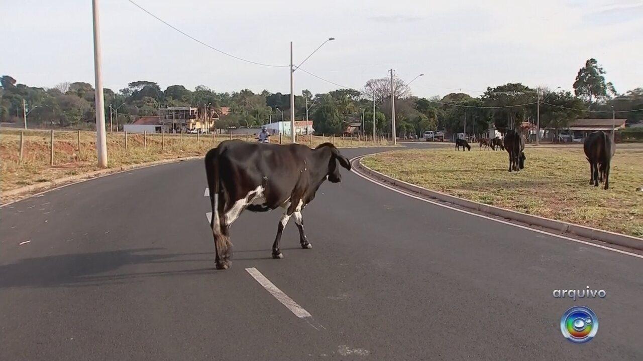 Trânsito realiza ação para retirar animais de grande porte de ruas e avenidas de Rio Preto