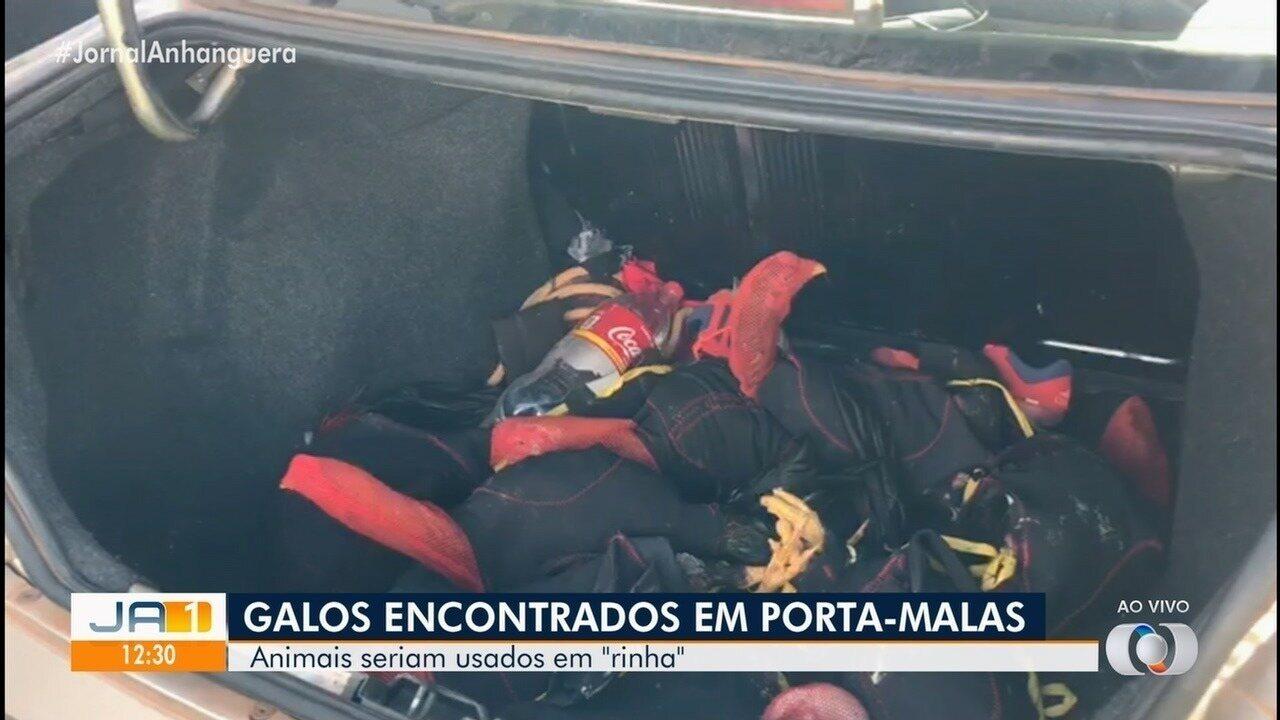 Polícia flagra 11 galos dentro de porta-malas de carro em Uruaçu
