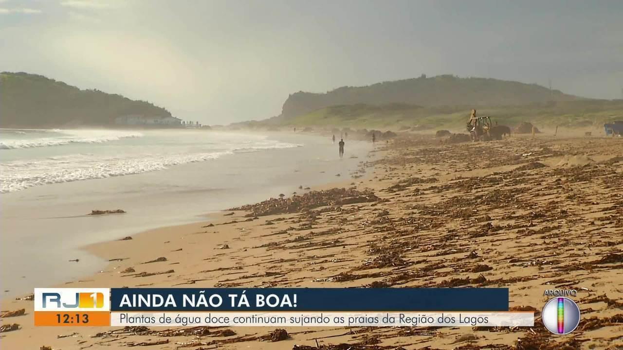 Plantas de água doce continuam sujando as praias da Região dos Lagos