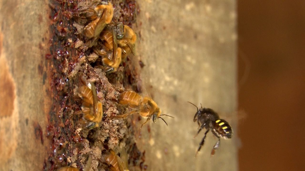 Pesquisadores desenvolvem antídoto que protege abelhas e colmeias de pragas