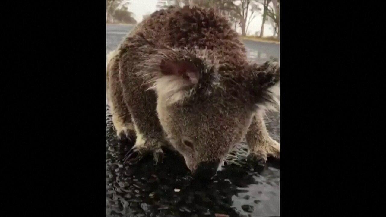 Com sede, coala lambe asfalto molhado na Austrália