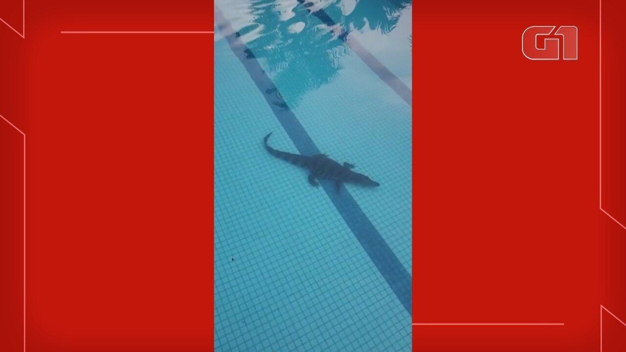 Em Manaus, jacaré é encontrado dentro de piscina