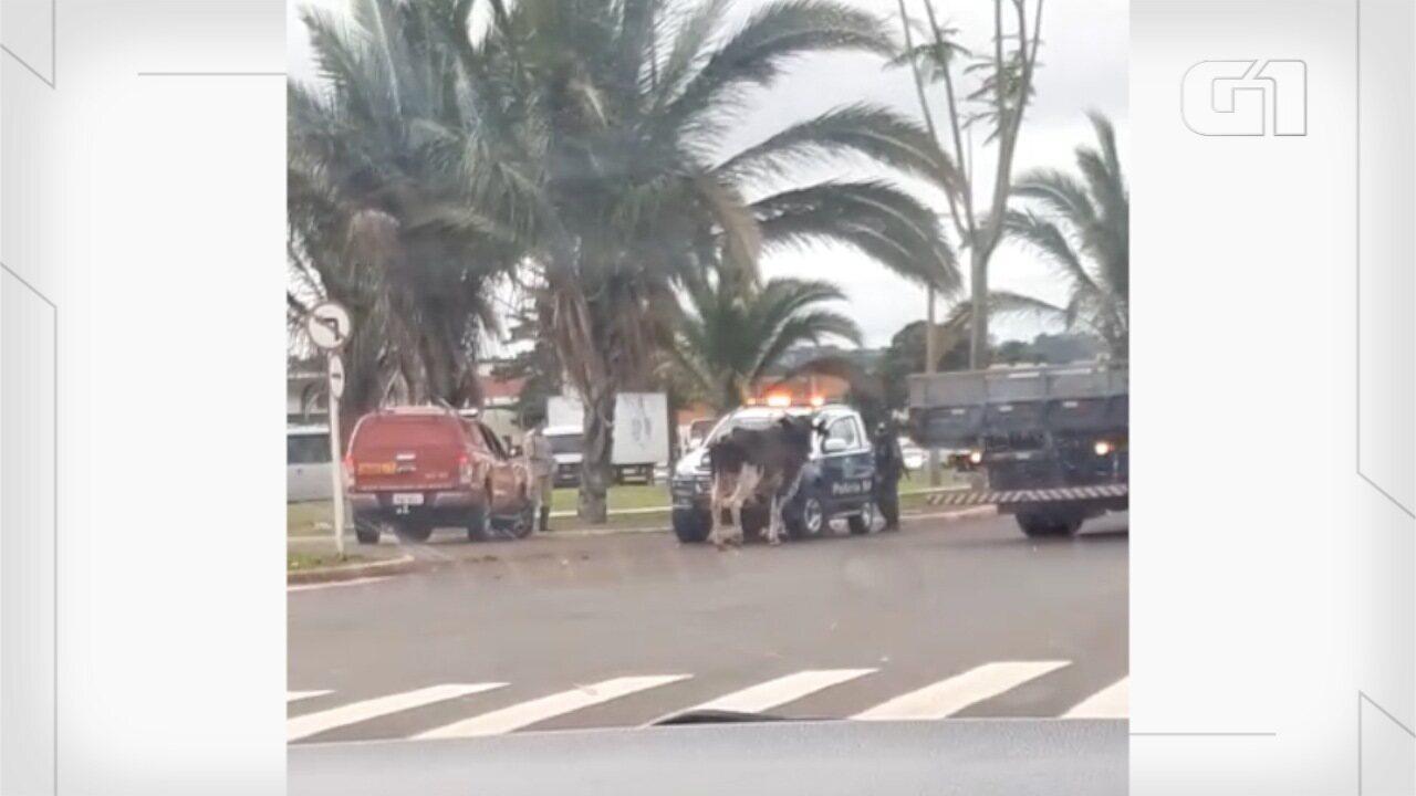 Vídeo mostra equipe de TV e policiais correndo de touro em MS