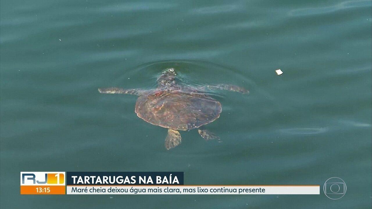 Tartarugas são vistas nas águas da Baía de Guanabara