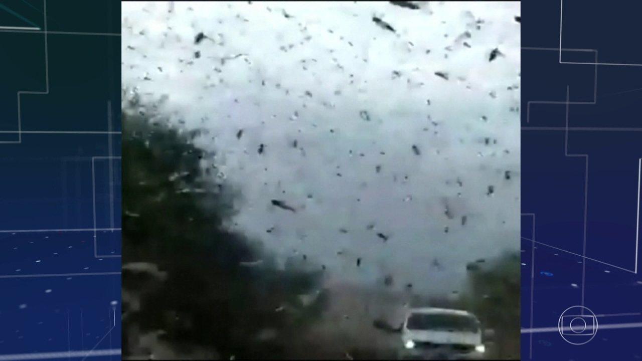 Ministério da Agricultura monitora nuvem de gafanhotos na Argentina, perto da fronteira