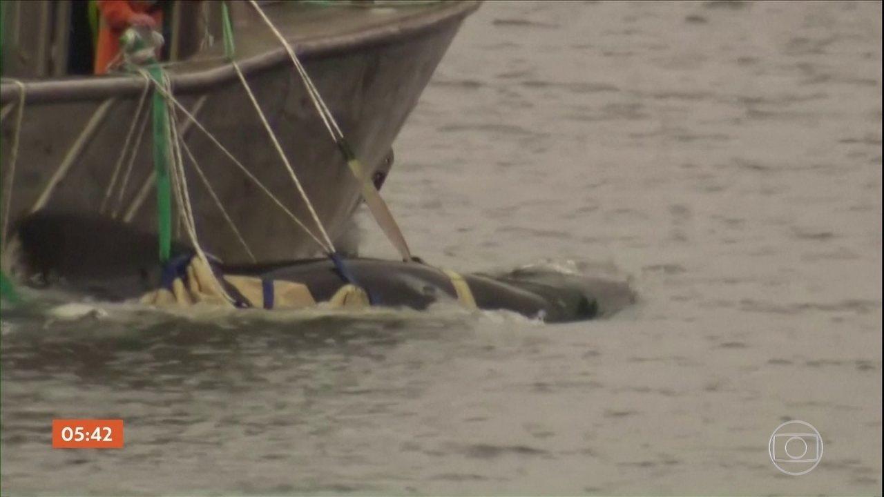 Quase 500 baleias estão encalhadas na Austrália; equipe acha que grande parte já morreu
