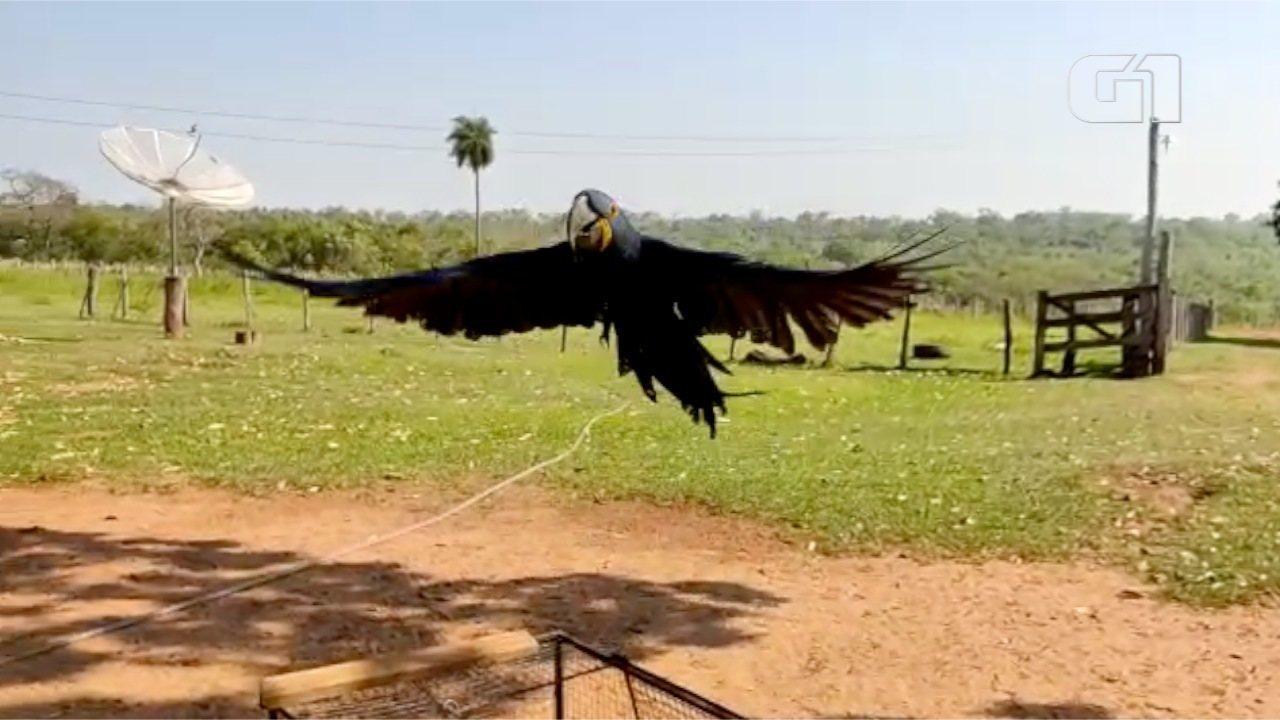 Polícia Ambiental apreende arara-azul com traficantes de animais em MS