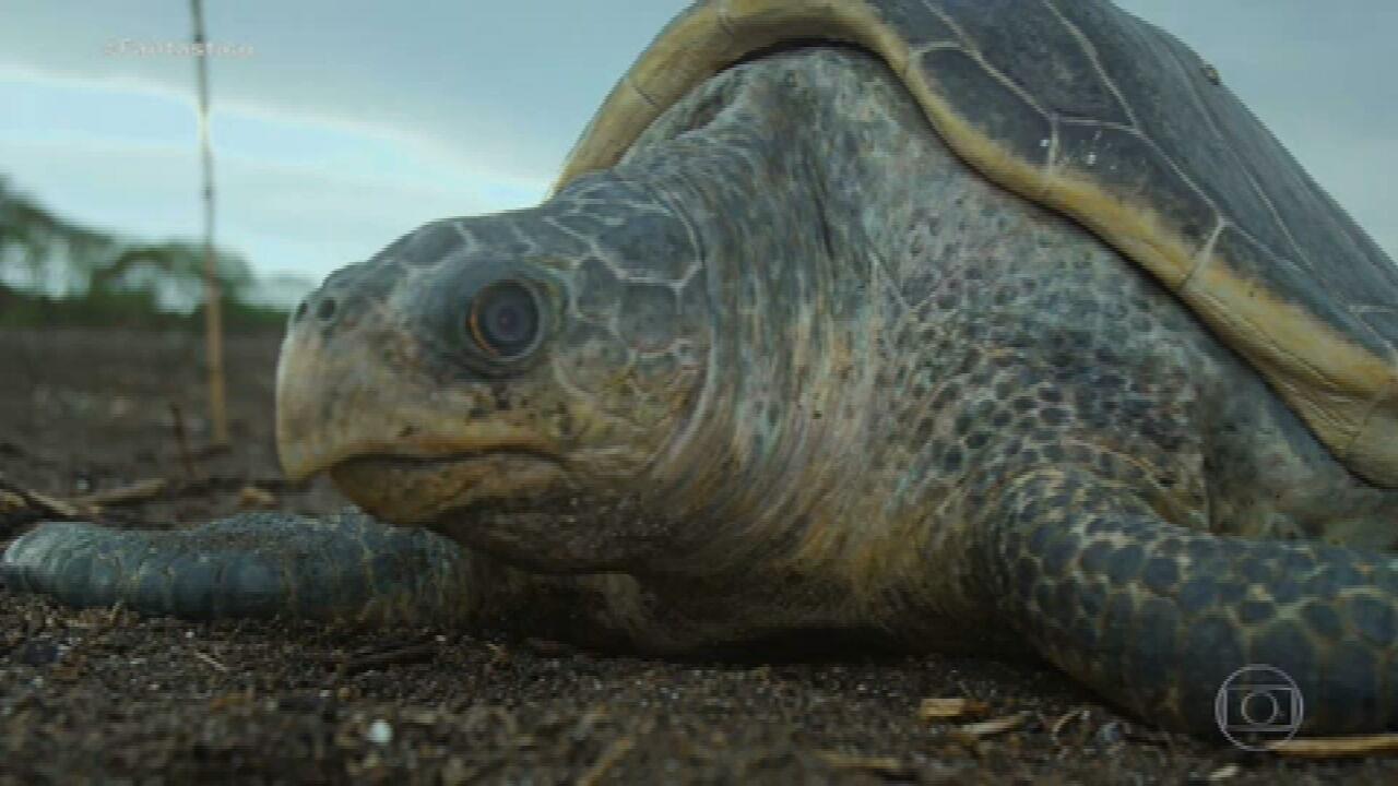Bichos Espiões: veja a desova das tartarugas e a migração das borboletas monarcas